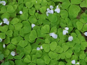 How to Get Rid of Clover in the Lawn Naturally