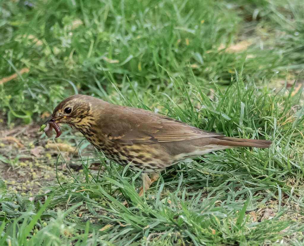 How-to-Get-Rid-of-Grubs-in-Lawn-bird-eat-grub